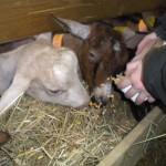 Les chèvres adorent le maïs